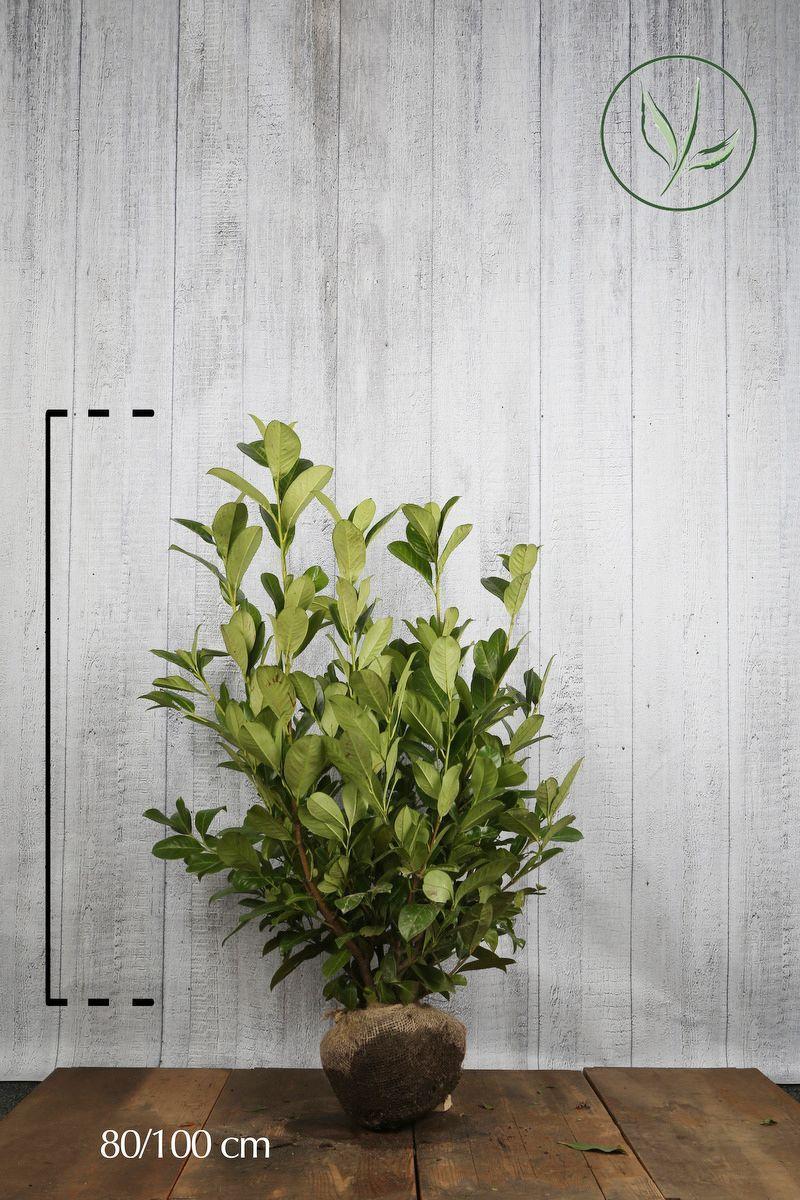 Laurier cerise 'Rotundifolia' En motte 80-100 cm Qualité extra