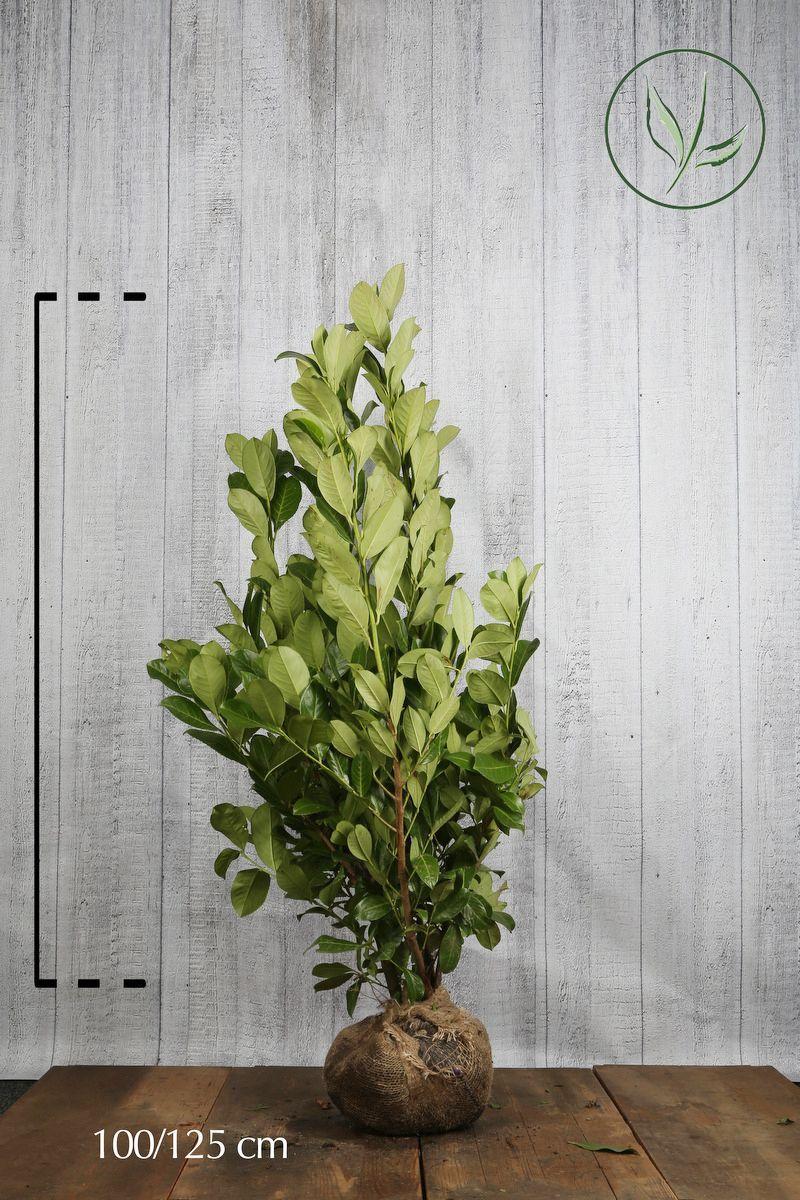 Laurier cerise 'Rotundifolia' En motte 100-125 cm Qualité extra
