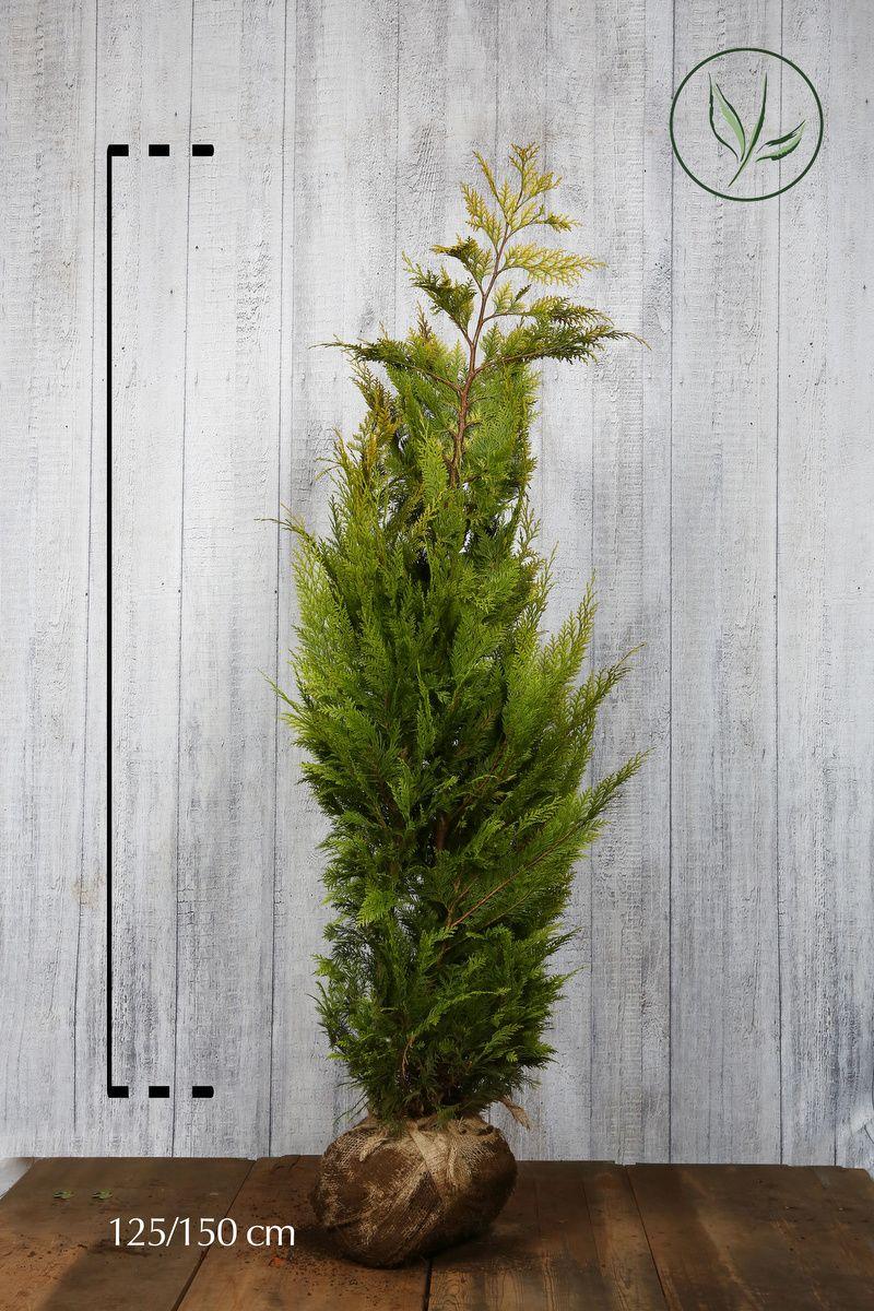 Faux Cyprès de Lawson 'Ivonne' En motte 125-150 cm Qualité extra