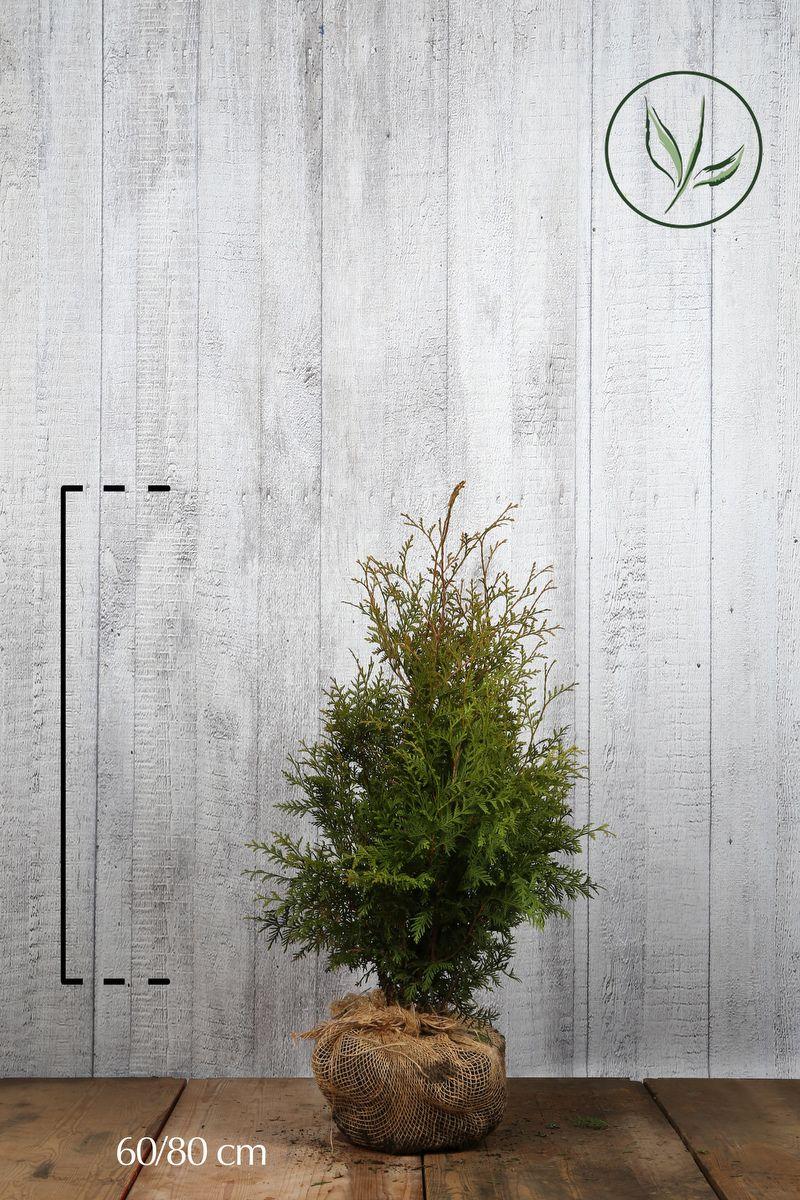 Thuya du Canada 'Brabant' En motte 60-80 cm Qualité extra
