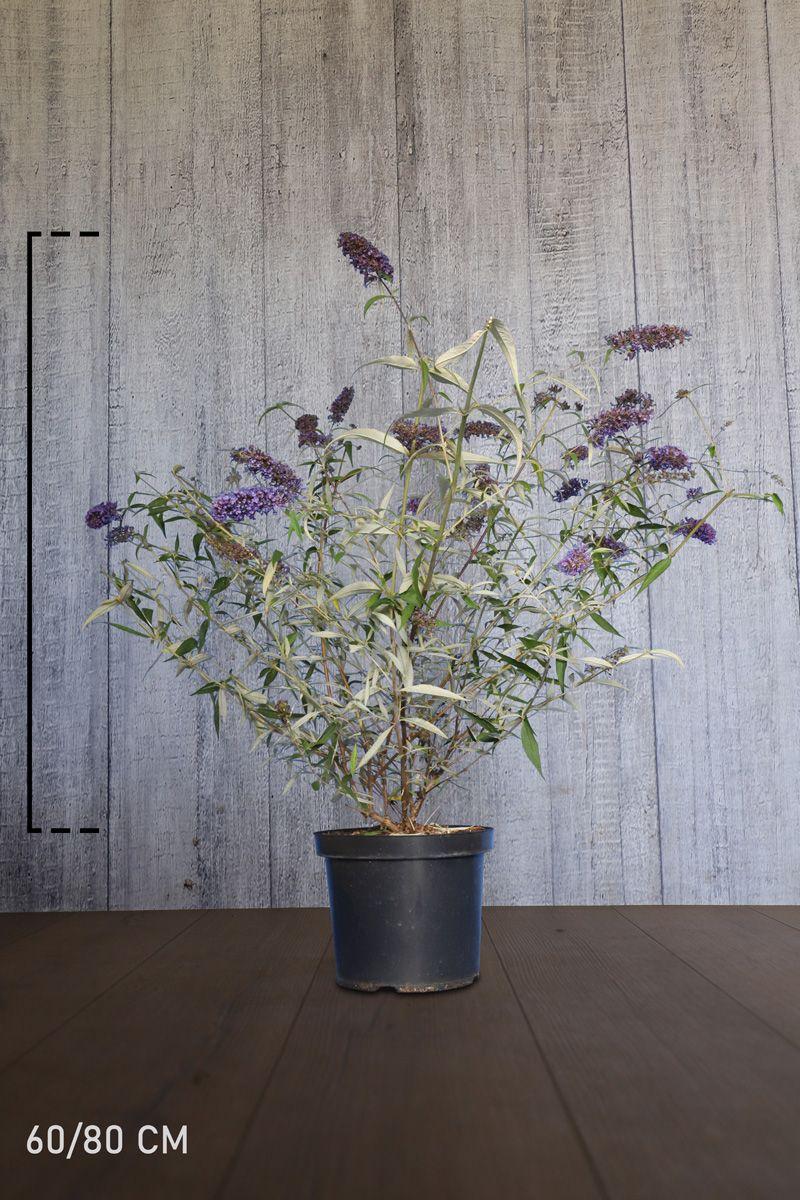 Arbre aux papillons 'Nanho Blue'  Conteneur 60-80 cm