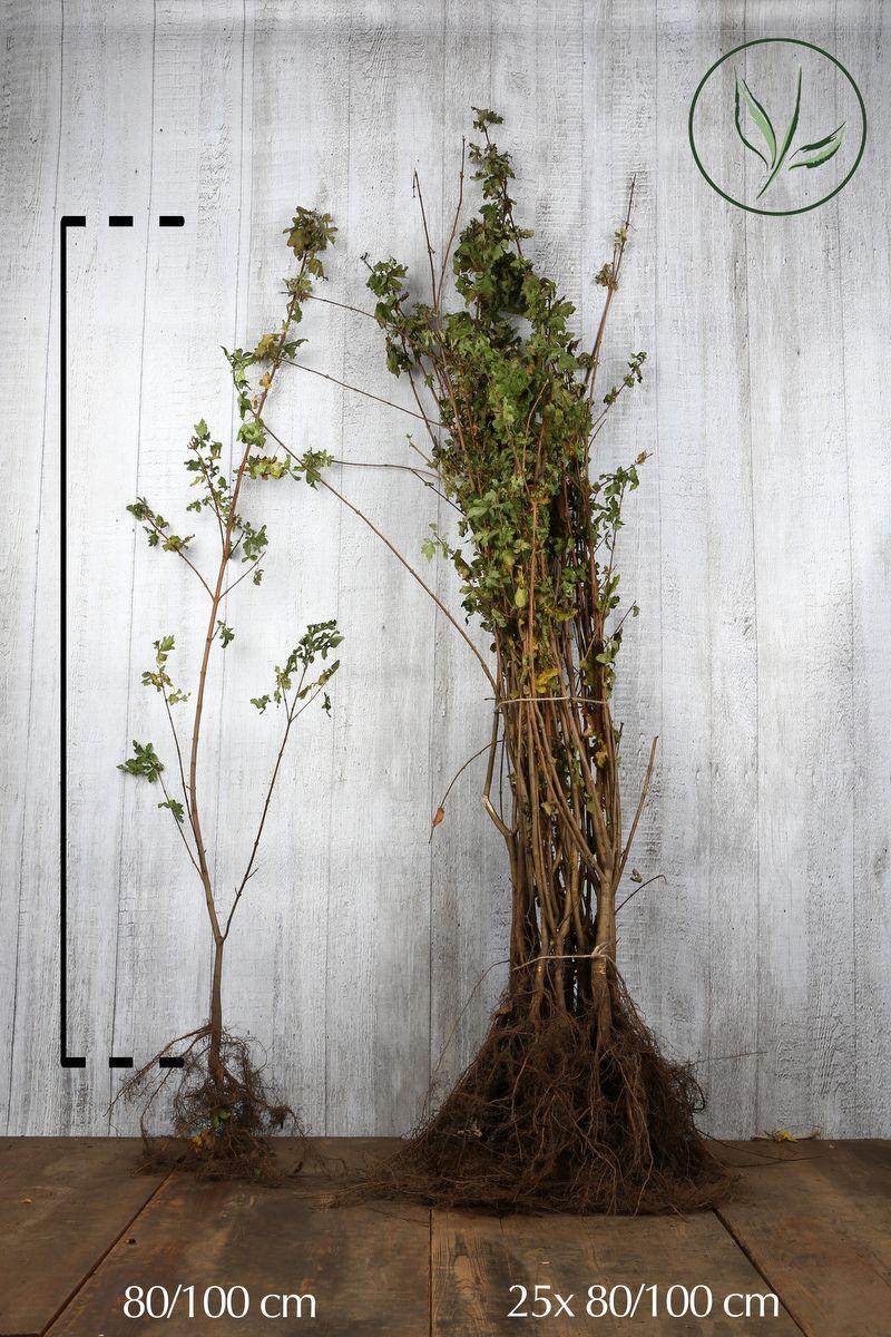 Erable champêtre  Racines nues 80-100 cm Qualité extra