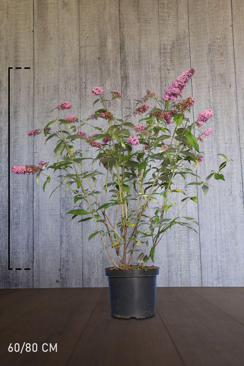 Arbre aux papillons 'Pink Delight'  Conteneur 60-80 cm Qualité extra