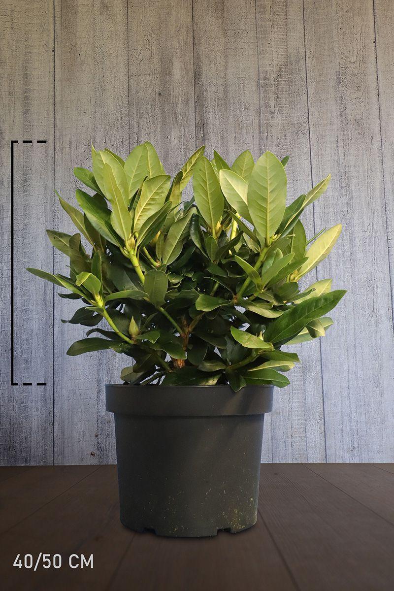 Rhododendron 'Cunninghams White'  Conteneur 40-50 cm Qualité extra