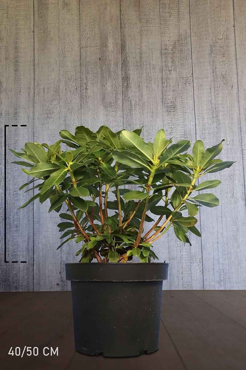Rhododendron 'Horizon Monarch'  Conteneur 40-50 cm Qualité extra
