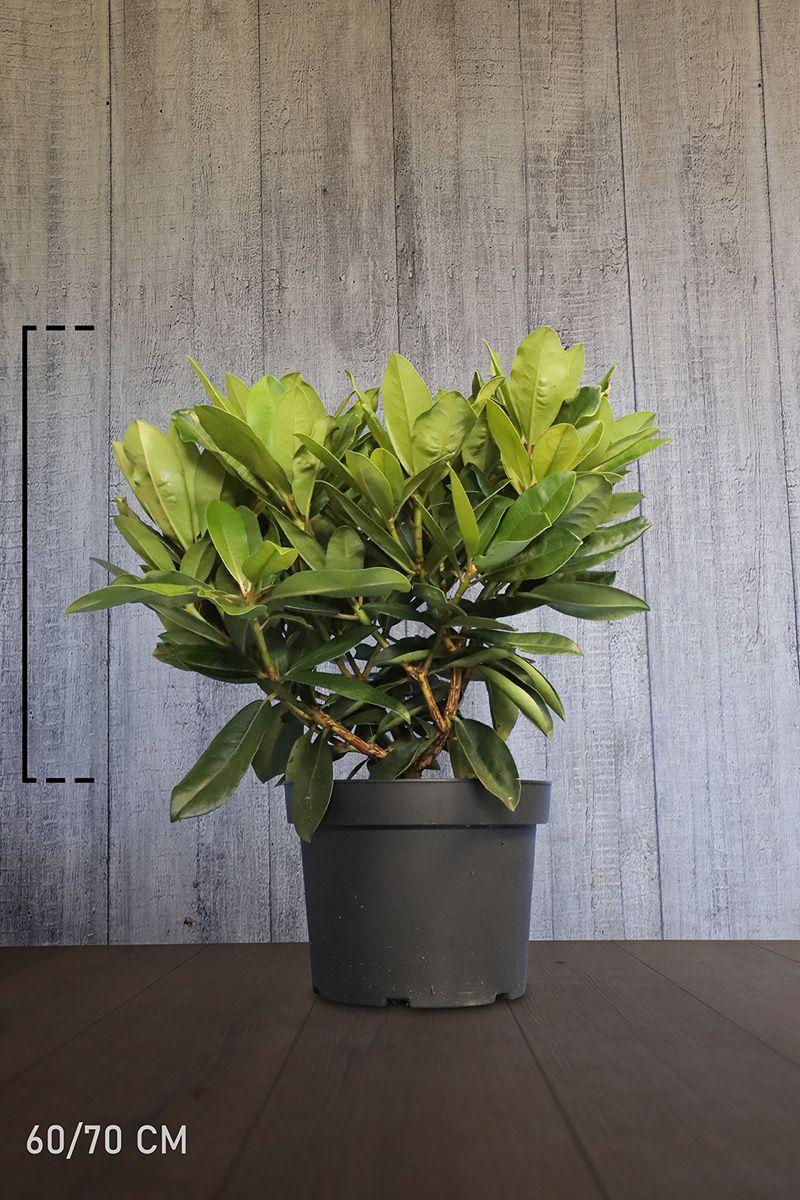 Rhododendron 'Gomer Waterer'  Conteneur 60-70 cm Qualité extra