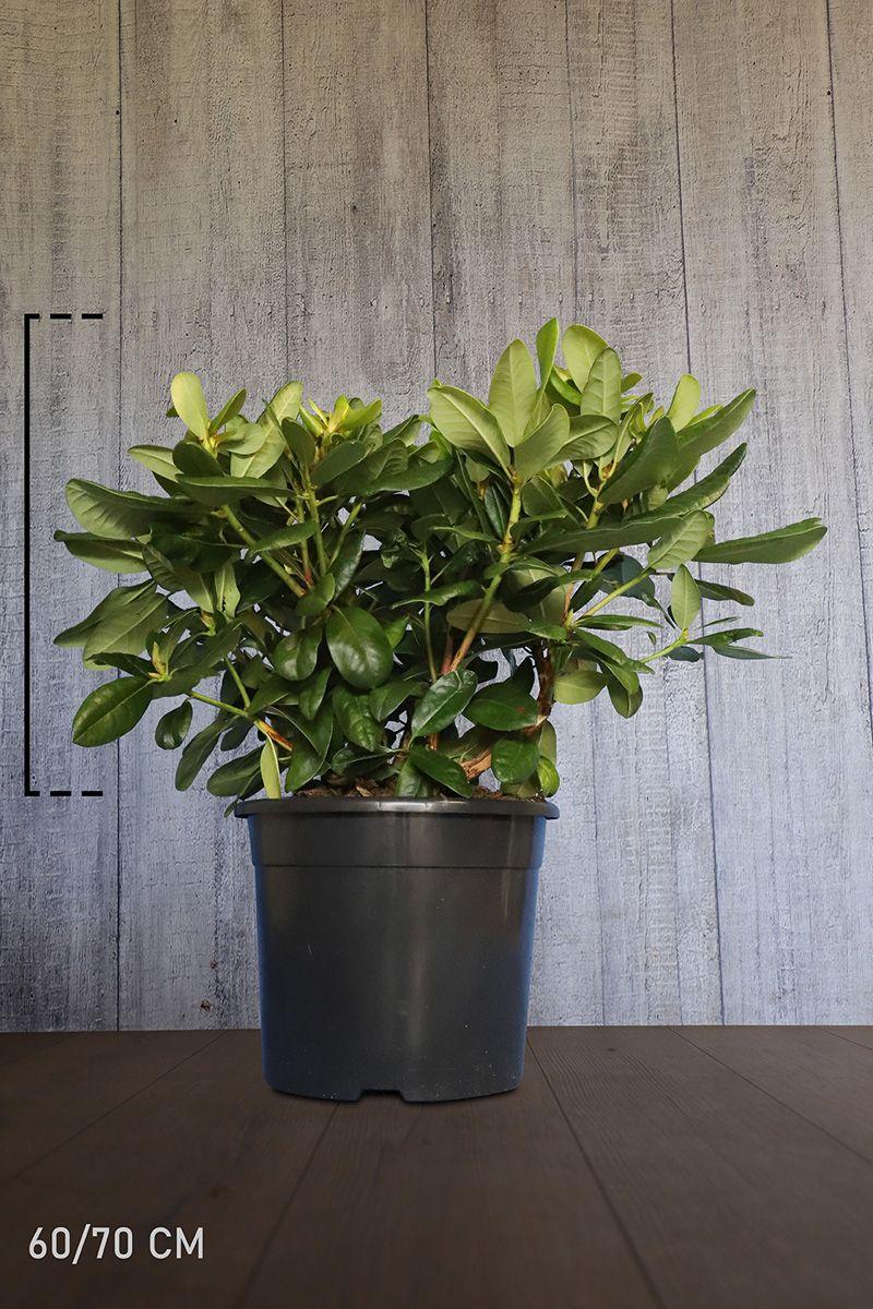 Rhododendron 'Scintillation'  Conteneur 60-70 cm Qualité extra