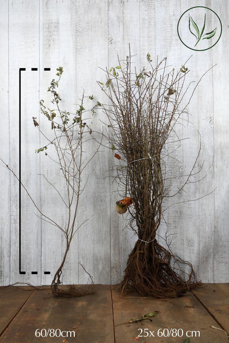 Prunellier Racines nues 60-80 cm