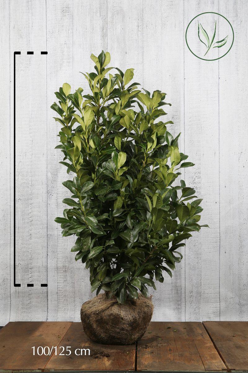 Laurier palme 'Etna'  En motte 100-125 cm Qualité extra