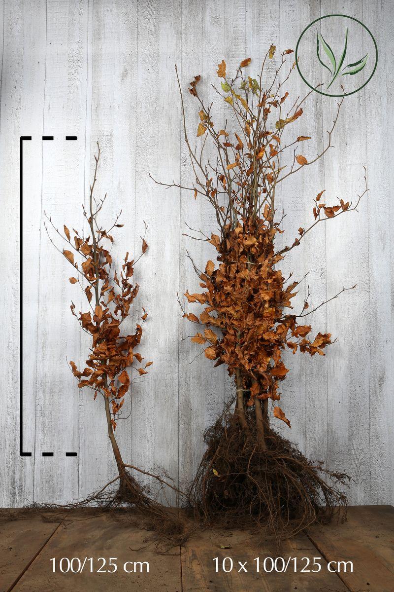 Hêtre commun, Hêtre vert  Racines nues 100-125 cm Qualité extra