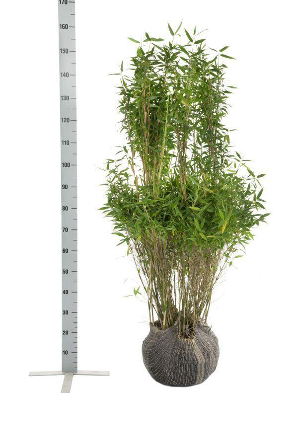 Fargesia murielae 'Simba' En motte 125-150 cm