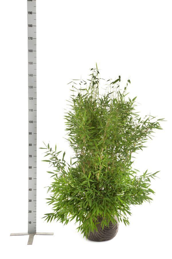 Fargesia murielae 'Jumbo' En motte 100-125 cm