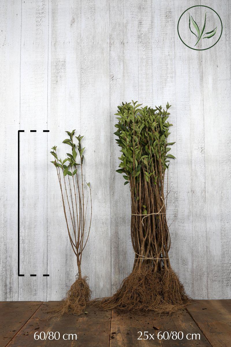 Troène vert, Troène de Californie  Racines nues 60-80 cm