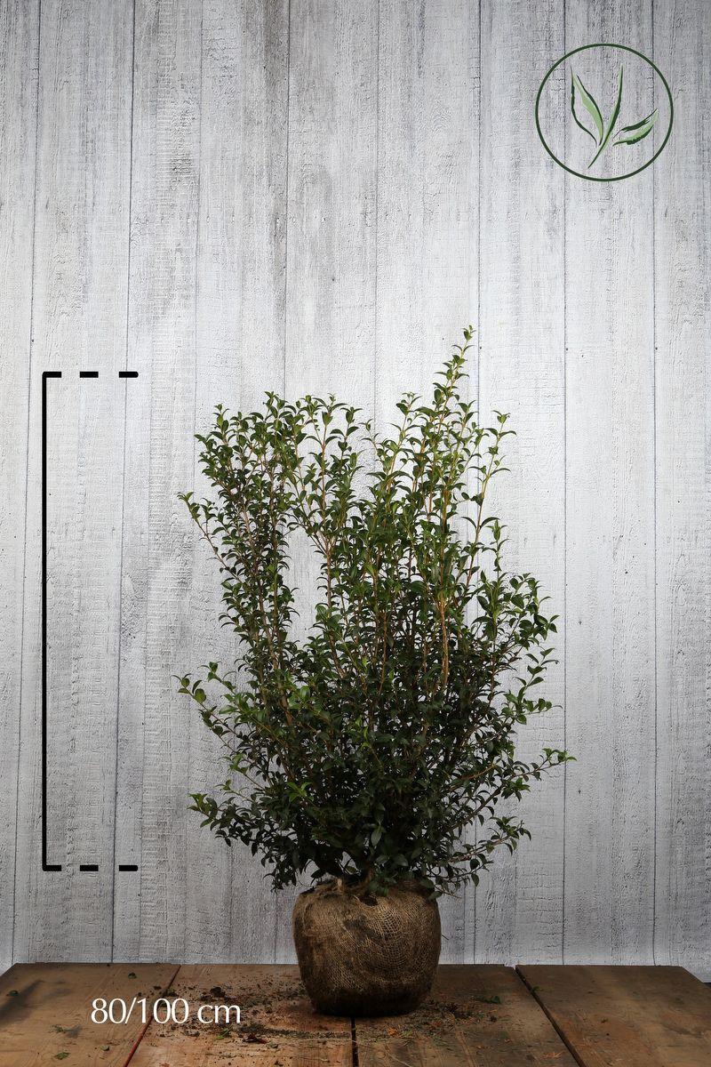 Osmanthe burkwoodii  En motte 80-100 cm