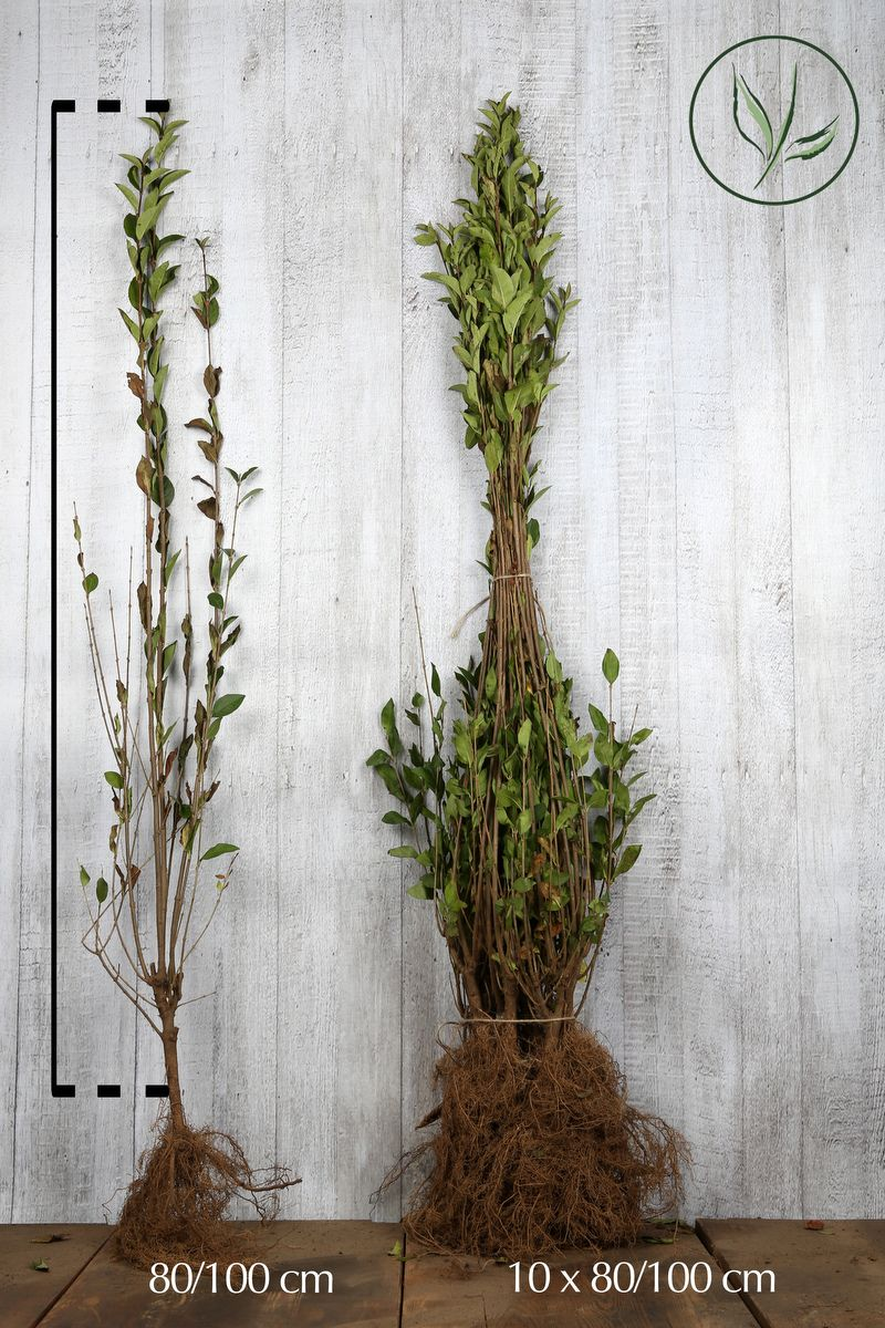 Troène vert, Troène de Californie  Racines nues 80-100 cm