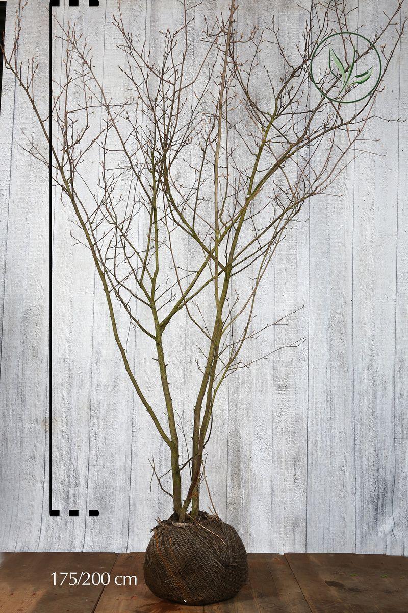 Amélanchier de Lamarck En motte 175-200 cm