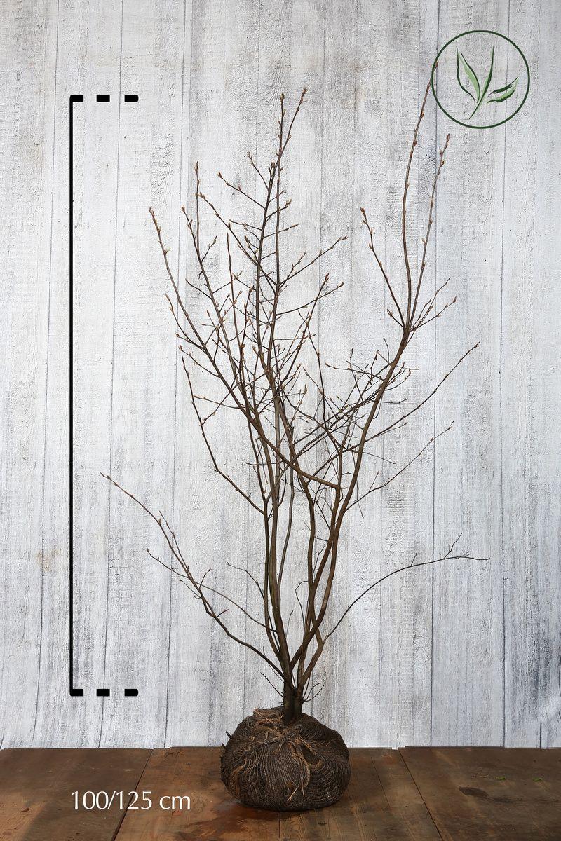 Amélanchier de Lamarck En motte 100-125 cm