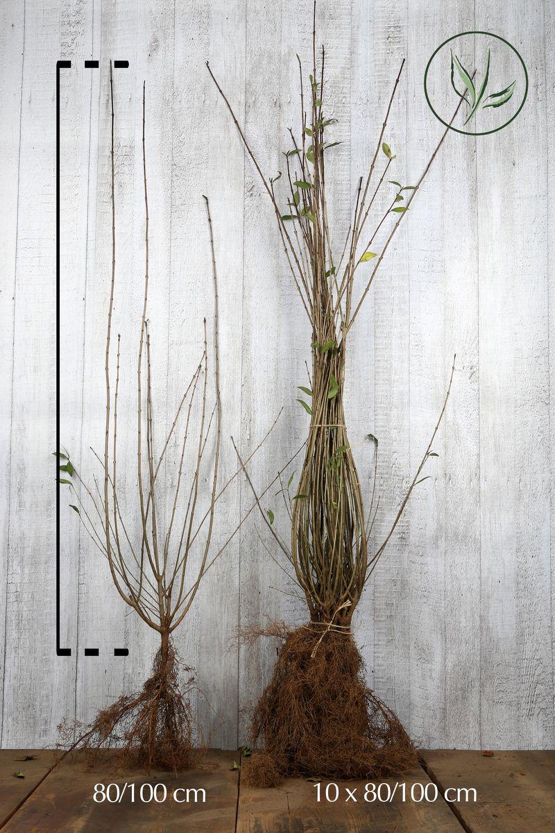 Troène Champêtre, Troène d'Europe  Racines nues 80-100 cm