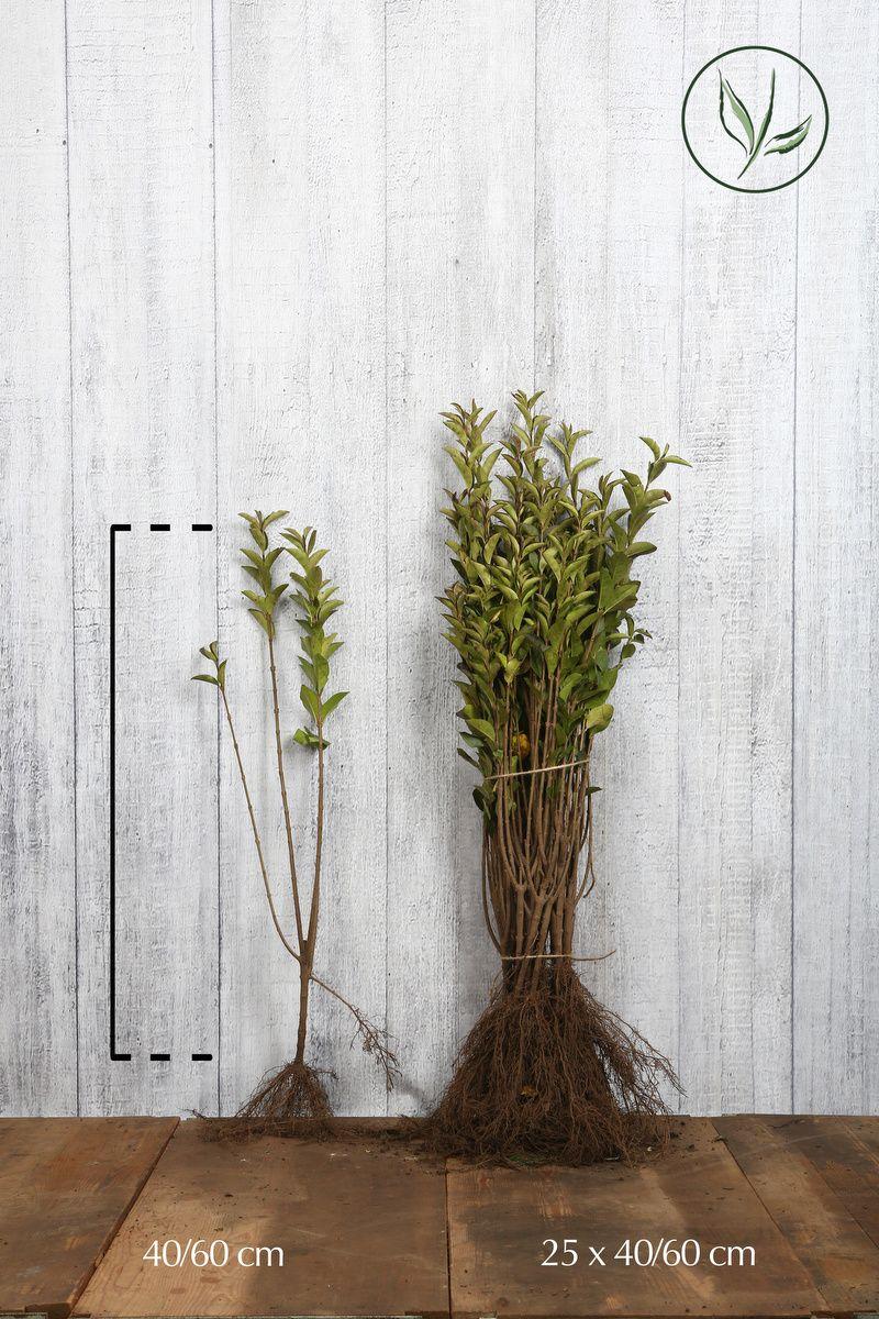Troène doré de Californie Racines nues 40-60 cm