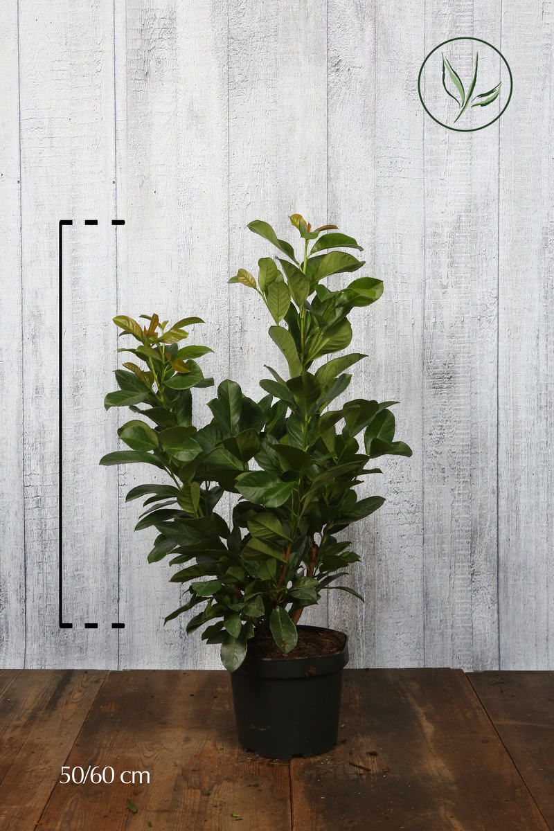 Laurier palme 'Etna'  Conteneur 50-60 cm