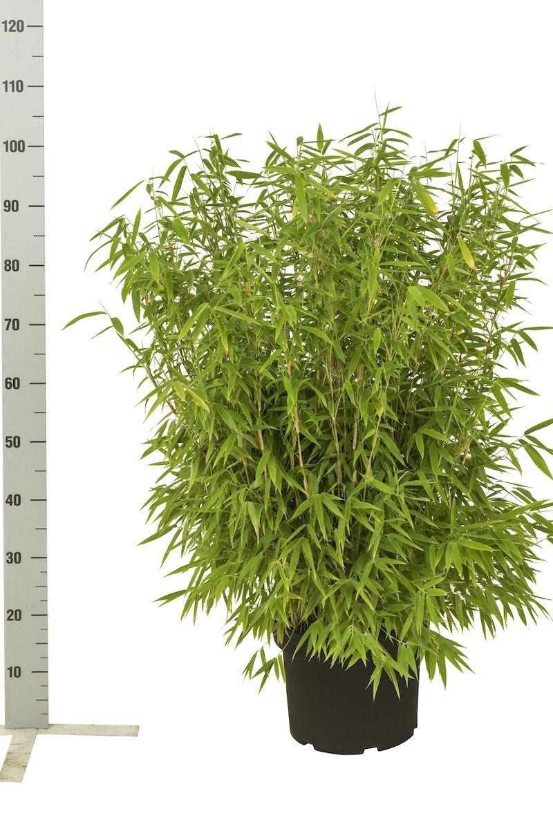 Fargesia murielae 'Jumbo' Conteneur 60-80 cm