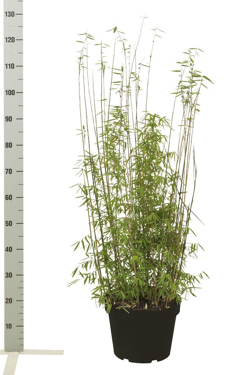 Fargesia jiuzhaigou Conteneur 80-100 cm