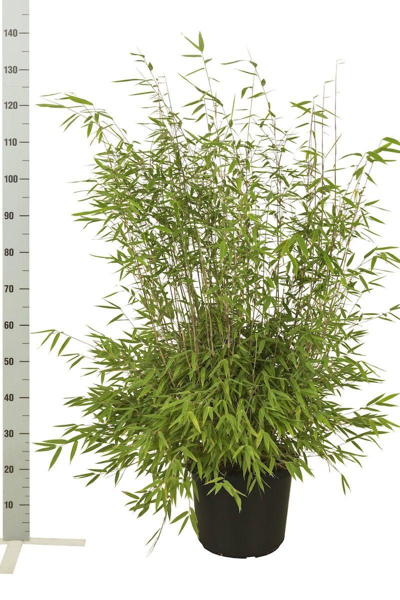 Fargesia nitida Conteneur 80-100 cm