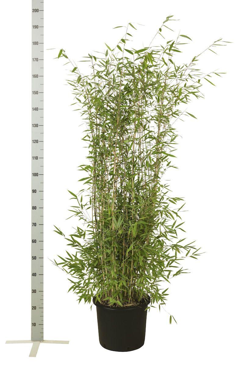 Fargesia nitida Conteneur 125-150 cm