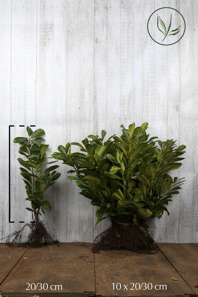 Laurier palme 'Novita'  Racines nues 20-30 cm