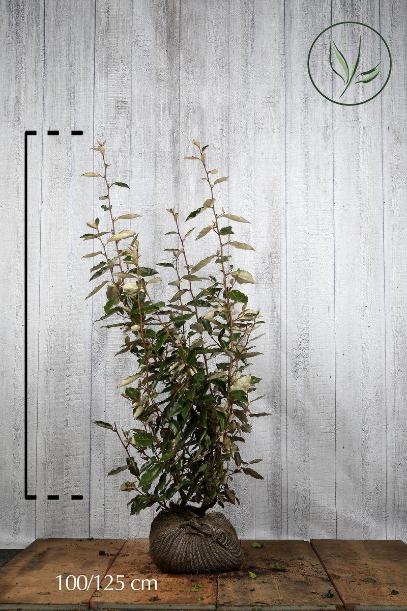 Chalef En motte 100-125 cm