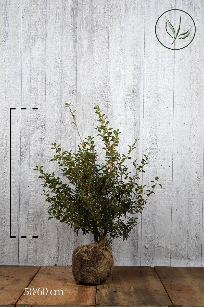 Osmanthe burkwoodii  En motte 50-60 cm
