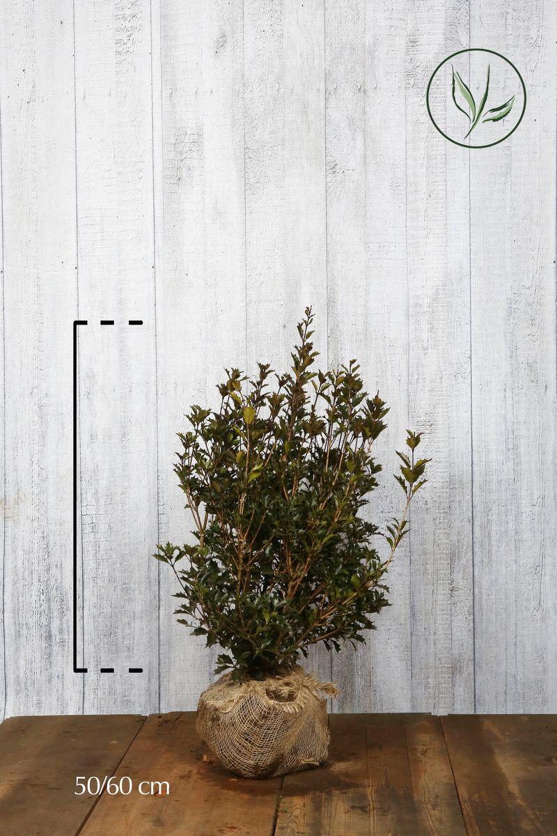 Osmanthe heterophyllus En motte 50-60 cm