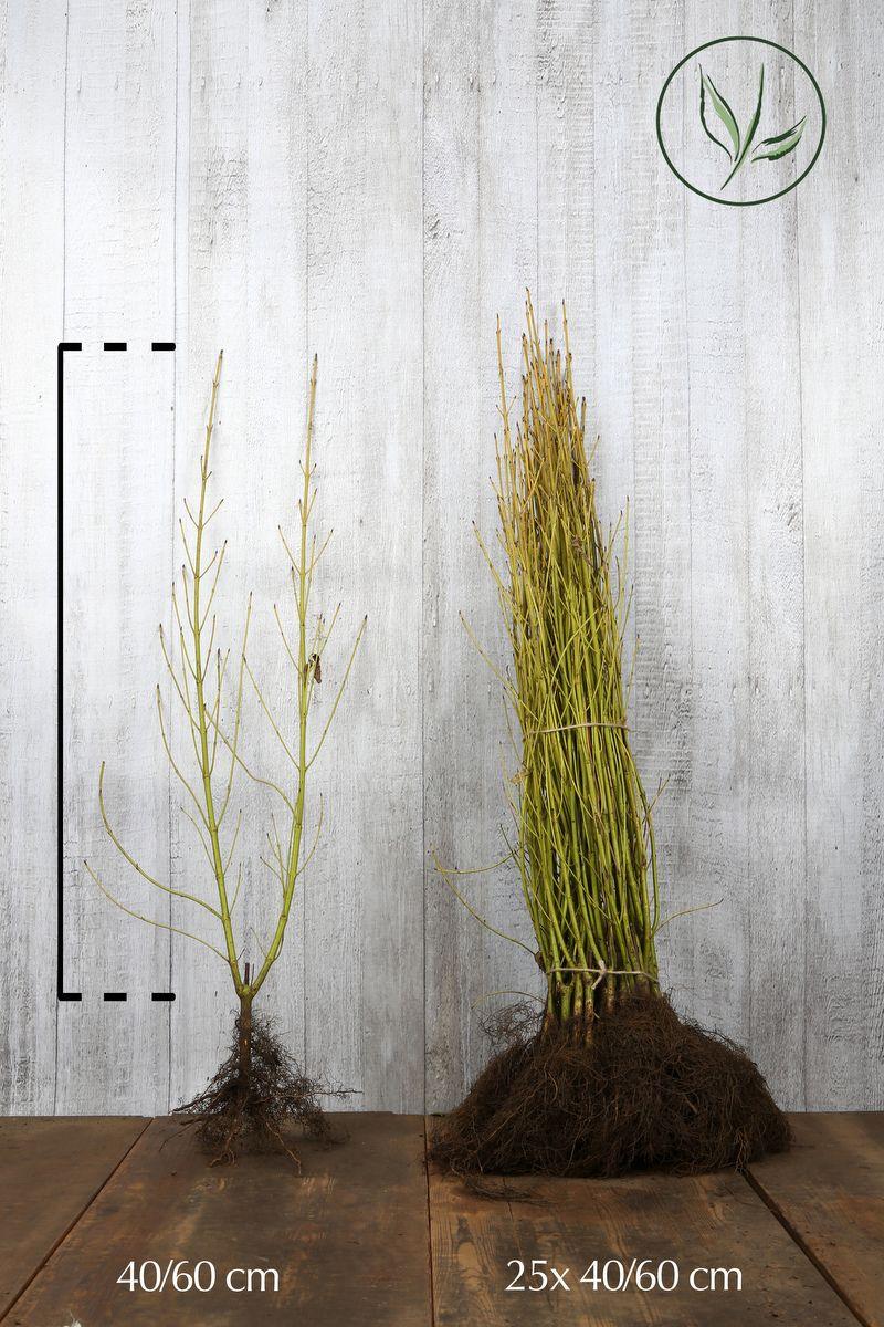 Cornouiller stolonifère 'Flaviramea'   Racines nues 40-60 cm