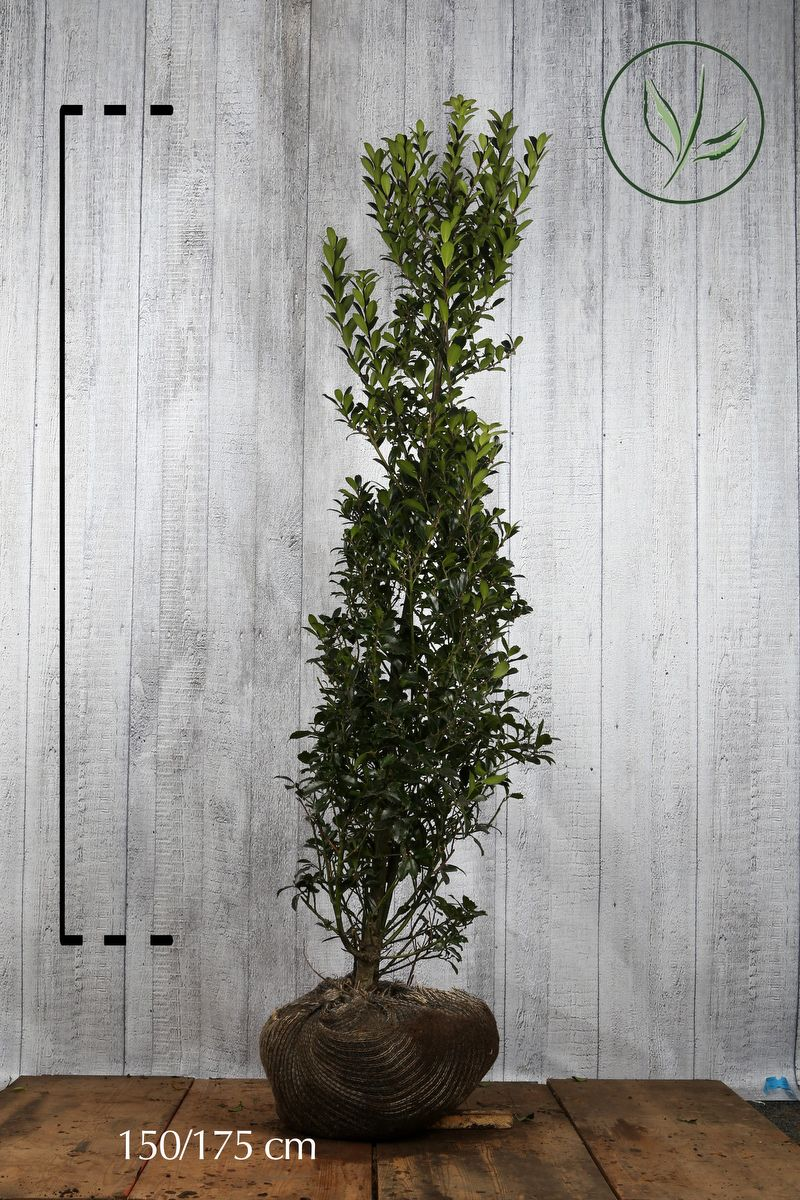 Houx 'Heckenpracht'  En motte 150-175 cm