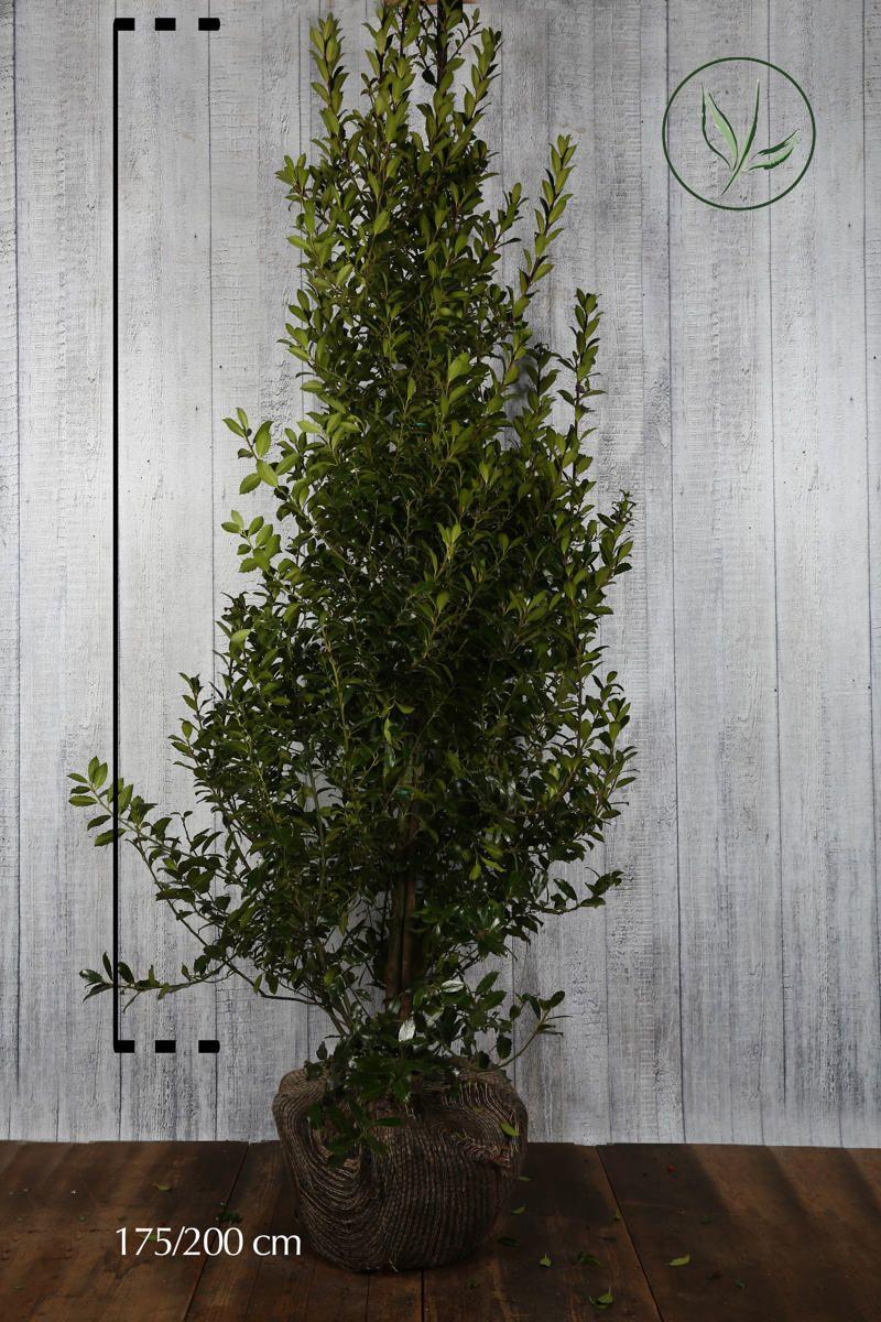 Houx 'Heckenpracht'  En motte 175-200 cm