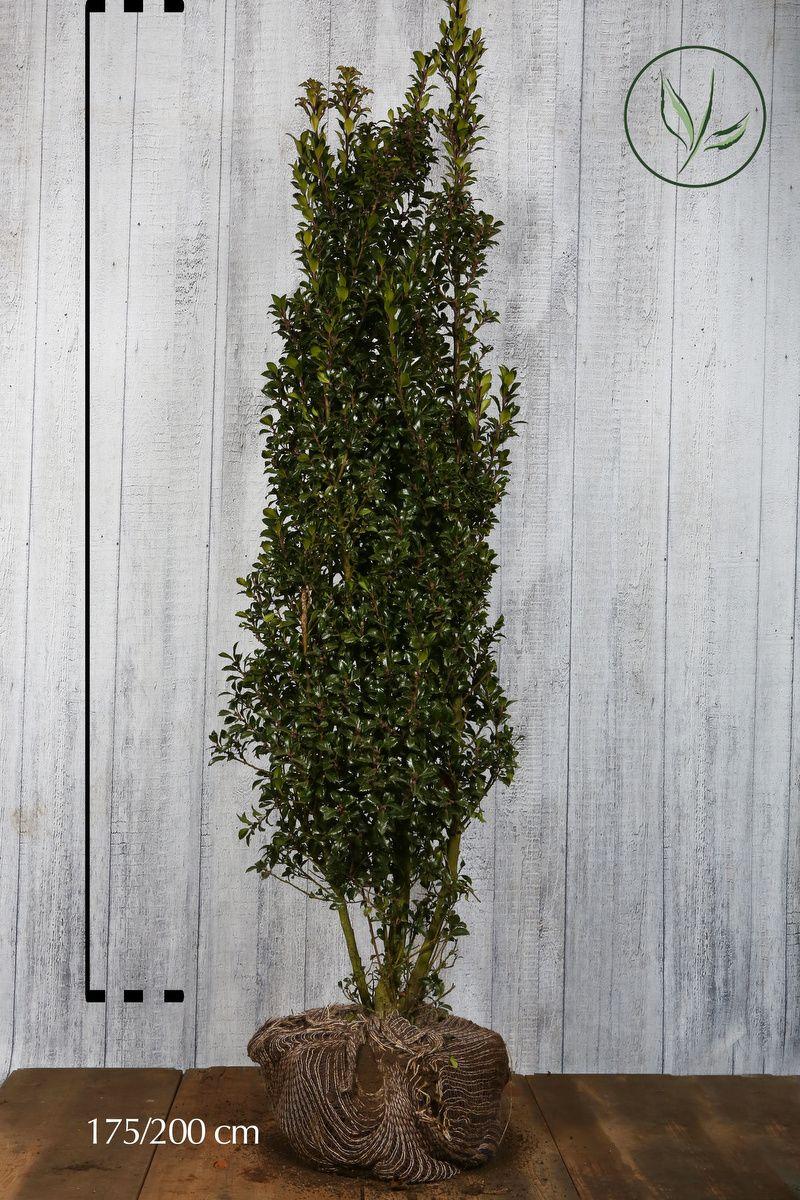 Houx 'Heckenstar'  En motte 175-200 cm