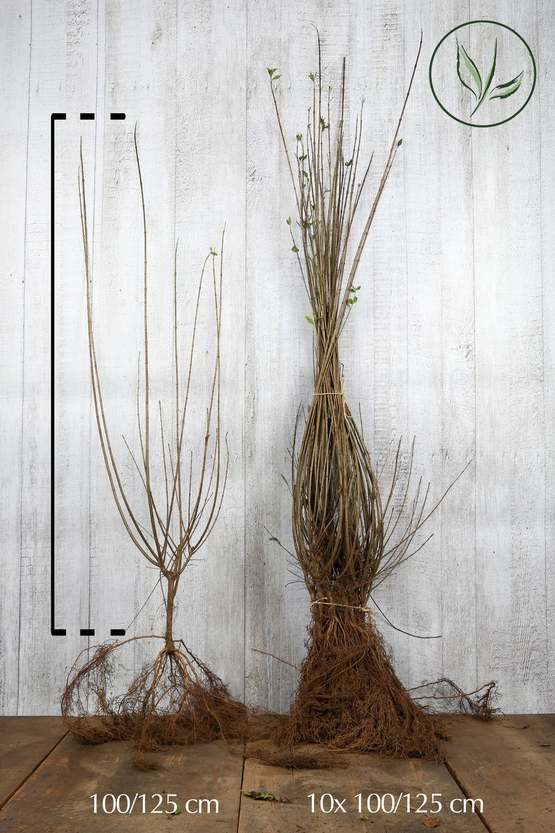Troène commun 'Atrovirens'  Racines nues 100-125 cm
