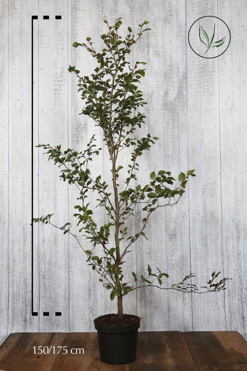 Hêtre commun, Hêtre vert  Conteneur 150-175 cm Qualité extra