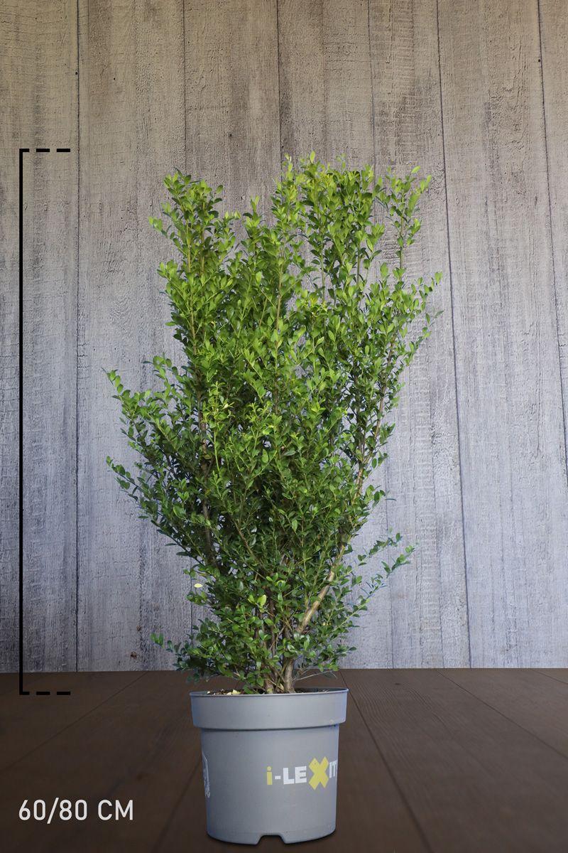 Houx crénelé 'Dark Green' ® En conteneur 60-80 cm