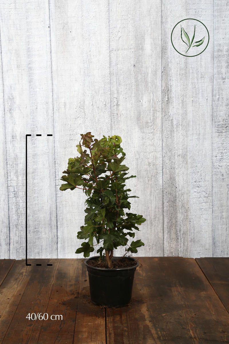 Erable champêtre  Conteneur 40-60 cm