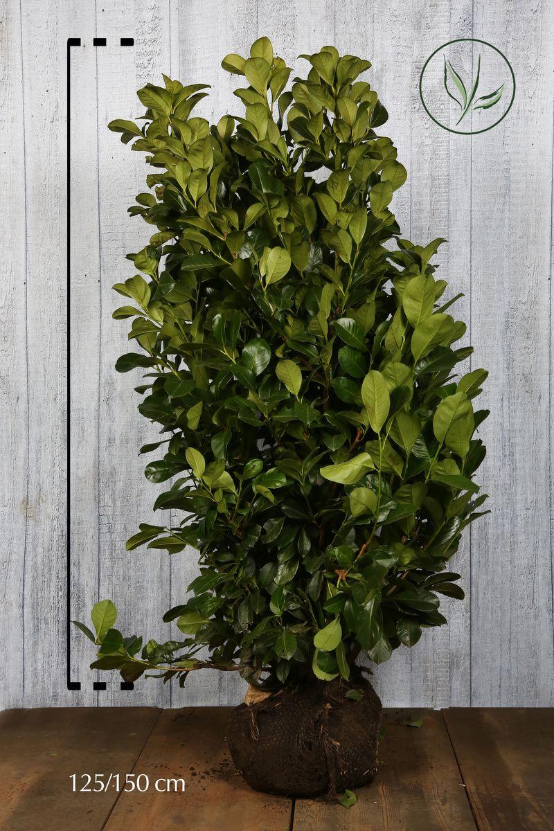 Laurier palme 'Etna'  En motte 120-140 cm Qualité extra