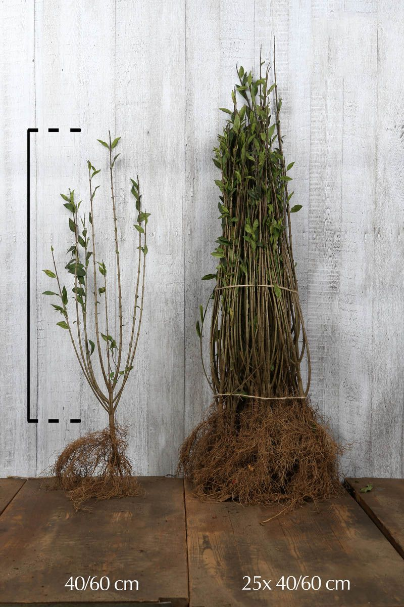 Troène commun 'Atrovirens'  Racines nues 40-60 cm