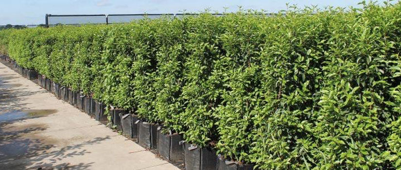 Acheter plantes de haies XXL