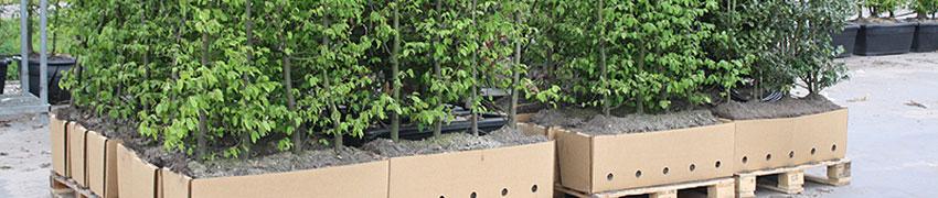 Plantation de haies 'xxl grande taille' 'prêt à planter'