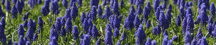 blauwe druifjes sfeerfoto