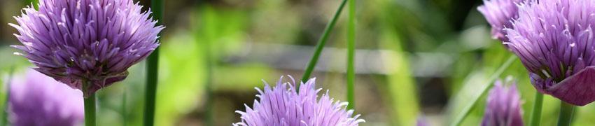 Allium planten en verzorgen