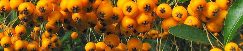 Les baies du Buisson Ardent