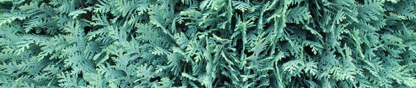 Conifères plantes de haies