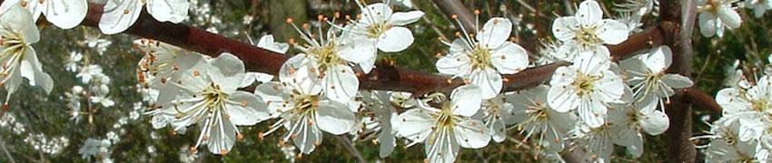 Prunellier- caractéristiques
