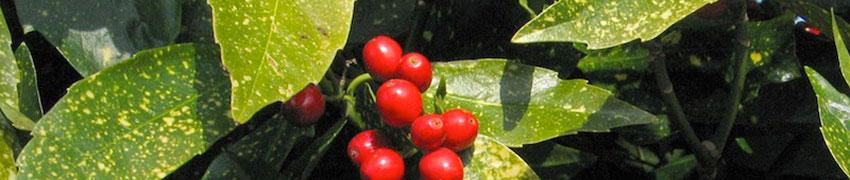 Quelques variétés de l'Aucuba